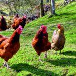 pollame in fattoria
